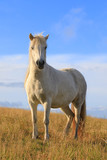 White color thoroughbred Icelandic horse - 208230869