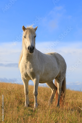 Fotobehang Natuur White color thoroughbred Icelandic horse