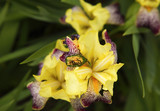 Beetle on orchid flower