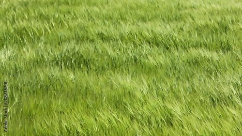 Green wheat field and sunny day