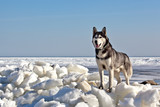 Dog breed Siberian Husky standing on ice hummocks on a background of blue sky