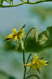 Small tomato flowers - 208240817