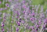 Blooming lavender closeup - 208240853