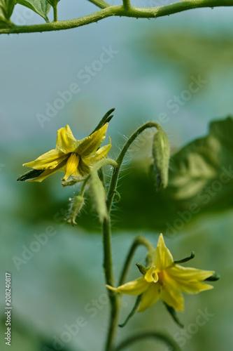 Foto Murales Small tomato flowers