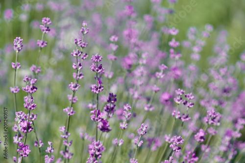 Fotobehang Lavendel Blooming lavender closeup