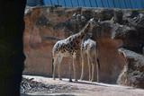 Giraffen - 208242048