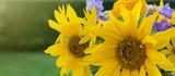 Yellow sunflowers isolated.