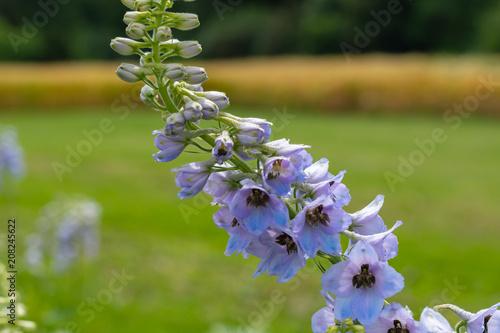 Lila Blume auf dem Feld mit unscharfem Hintergrund