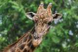 Giraffe - 208252485