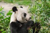 Giant panda - 208252699