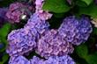 Leinwanddruck Bild - Hortensie, Hydrangea,