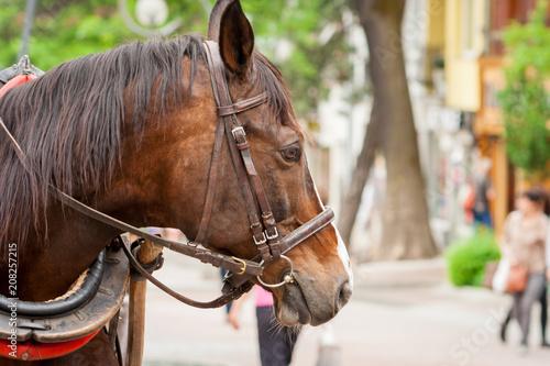 Foto Murales A brown horse standing on Krupowki in Zakopane.