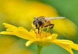 Insecte sur une fleur d'Anthémis