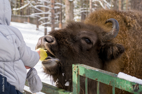Fotobehang Bison the Buffalo takes food from the baby's hand in the zoo in the winter