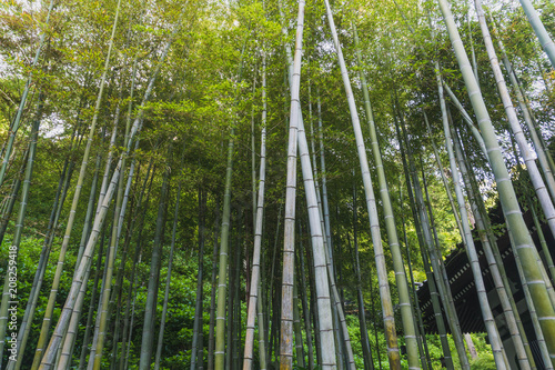 Fotobehang Bamboe Bamboo forest in Japan