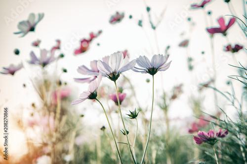 Bautiful damatic tone cosmos flower in the garden - 208270866