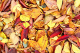 Autumn fallen, dry vibrant orange, burgundy, red cherry leaves on the ground. Texture leaves background - 208271053