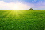 Sunset and green field .