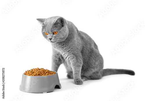 Serious British cat ready to eat a bowl of food
