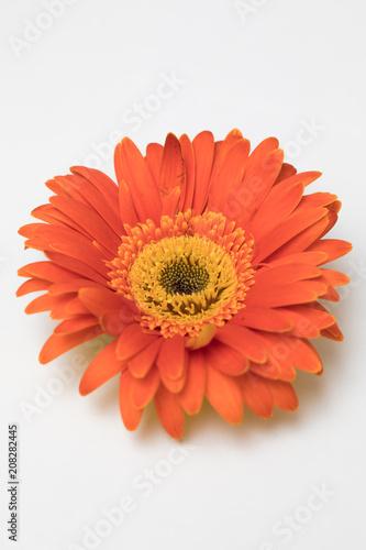 Fotobehang Gerbera gerbera daisy flower isolated on white background
