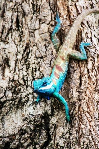 niebieski kameleon w tropikalnej okolicy na drzewie