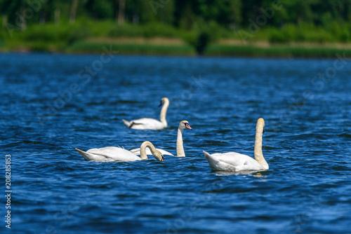 Aluminium Zwaan a flock of swans swimming in the lake