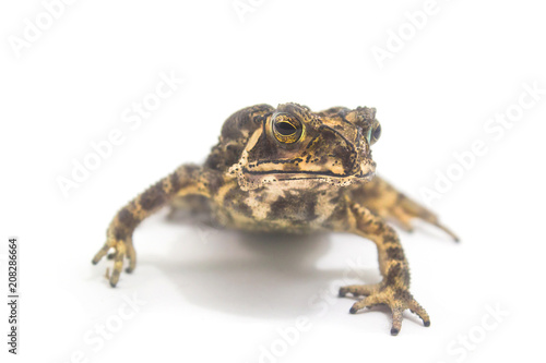Aluminium Kikker Toad Amphibian White Background form Phuket Thailand,Animals tropical areas.