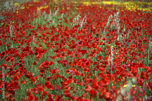 Fotobehang Rood traf. Beautiful Field of Red Poppies