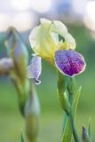 Iris blooming in the garden, vertical picture