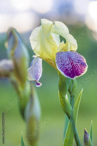 Aluminium Iris Iris blooming in the garden, vertical picture