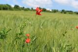 Eine Mohnblume im Getreide Feld
