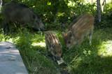 dzikie świnie - 208293023