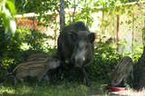 dzikie świnie - 208293076