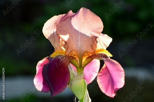 Aluminium Iris Iris is purple with a pink tint in the garden close-up.
