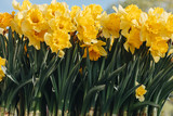 close-up shot of beautiful yellow Narcissus flowers - 208298045