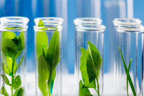 Green fresh plants grown up in test tubes in laboratory