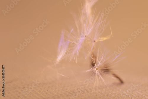 Canvas Paardenbloemen achenes of a dandelion