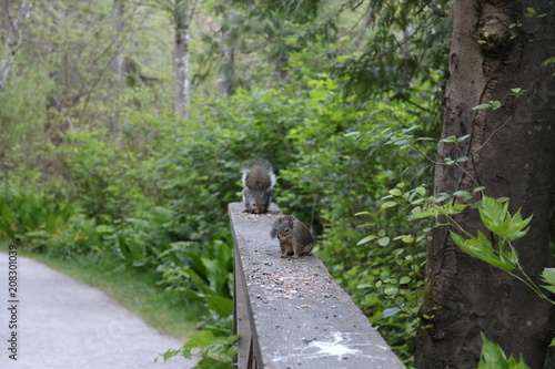 Fotobehang Weg in bos Canadian Squirrel