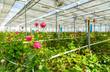 Rose tree grow in modern greenhouse under artificial growlight