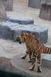 angry hungry tiger animal