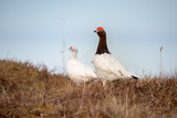 Male and Female of Willow Ptarmigan - Lagopus- bird with red eyebrows