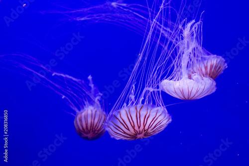 Foto Murales  Japanese sea nettle (Chrysaora pacifica).