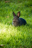 cute black rabbit eating grass on the edge of light and shadow on the ground
