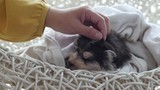 Owner is grooming the fur of Siberian husky puppy after shower with hair dryer  - 208340069