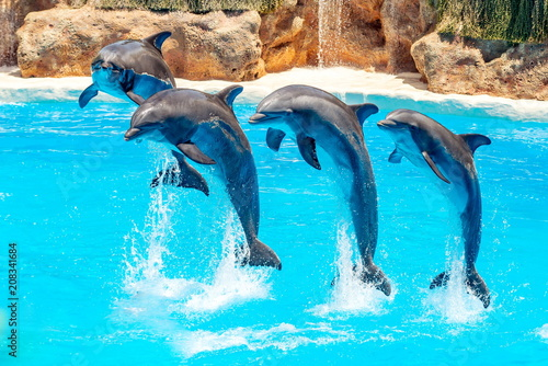 Fotobehang Dolfijn Beautiful dolphin swimming. Dolphin jumping above blue water in the Ocean