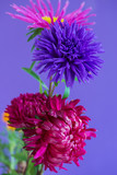 Close-up image of the Aster flowers on purple background.