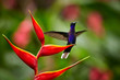 Violet Sabrewing Campylopterus hemileucurus, perched on red heliconia flower with outstretched wings. La Paz. Costa Rica.