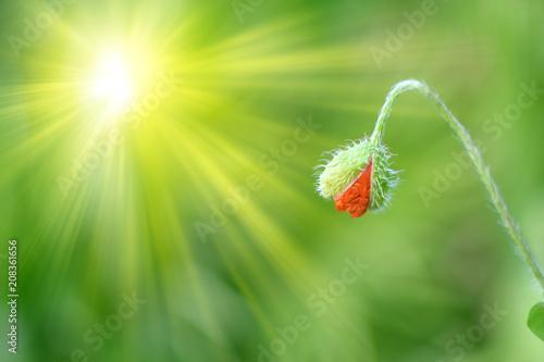 Poppy Bud  - 208361656