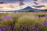 View of Mountain Fuji and lavender fields in summer season at Lake kawaguchiko - 208372895