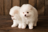 Little Pomeranian spitz-dogpuppy.It can be used as a background - 208381248